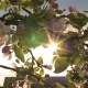 Blooming Flower Apple Tree Sways In Wind And The Sun Shines Through Its Leaves - VideoHive Item for Sale