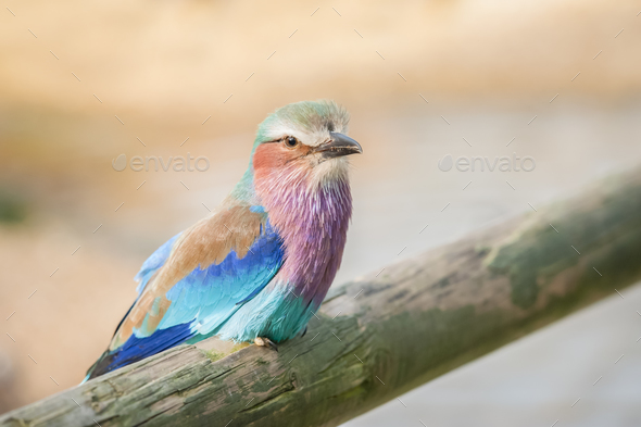 Lilac breasted Roller - Stock Photo - Images