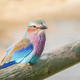 Lilac breasted Roller - PhotoDune Item for Sale
