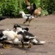 Ducks and Chicken at the Farm - VideoHive Item for Sale