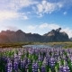 The Picturesque Landscapes of Forests and Mountains of Iceland. Wild Blue Lupine Blooming - VideoHive Item for Sale