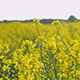 Farmland with blooming Canola, Campestris L during summerin Sweden