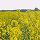Farmland With Blooming Canola, Campestris L During Summer in Sweden - VideoHive Item for Sale