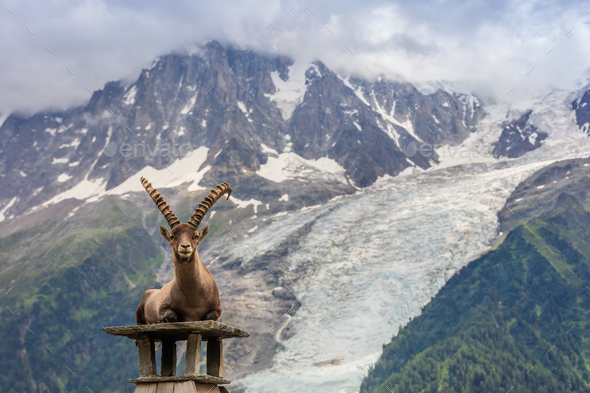 Ibex, Range of Mont Blanc. French Alps - Stock Photo - Images