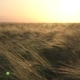 Field Rye at Sunset - VideoHive Item for Sale