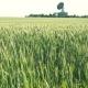 Field of Green Rye