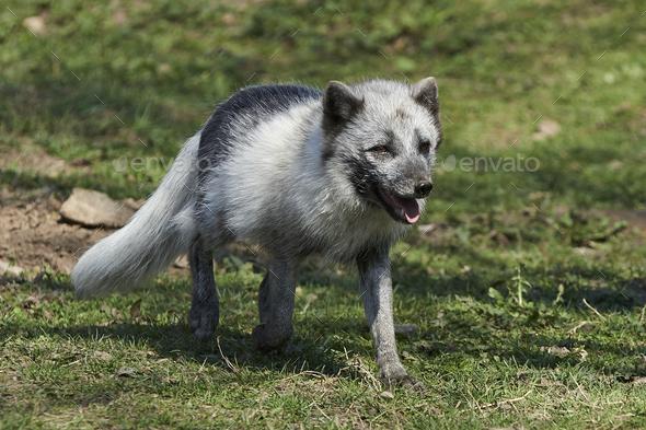 Arctic fox (Vulpes lagopus) - Stock Photo - Images