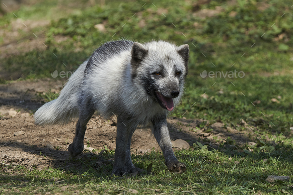 Arctic fox (Vulpes lagopus) - Stock Photo - Images