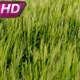 Waving Cornfield - VideoHive Item for Sale