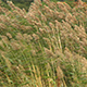 Reed moving in the wind - VideoHive Item for Sale