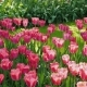 Pink Tulips in the Sun-drenched Park of the Netherlands - VideoHive Item for Sale