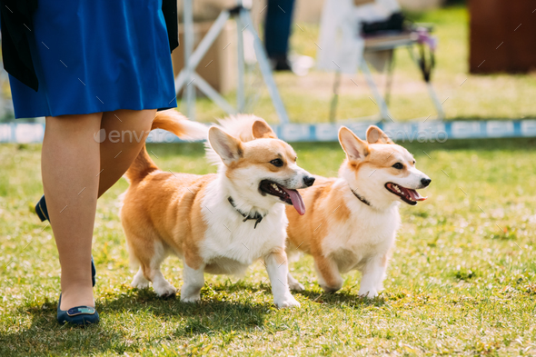 Two Funny Pembroke Welsh Corgi Dogs Running Near Woman In Green - Stock Photo - Images