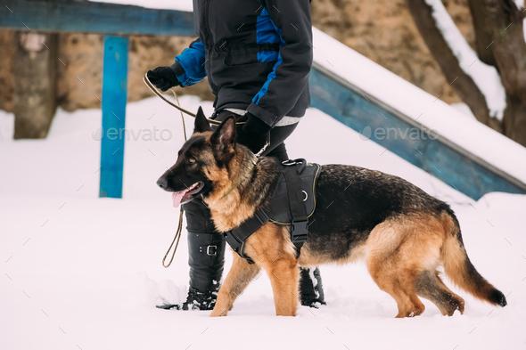 German Shepherd Dog Walking Near Owner During Training. Winter S - Stock Photo - Images