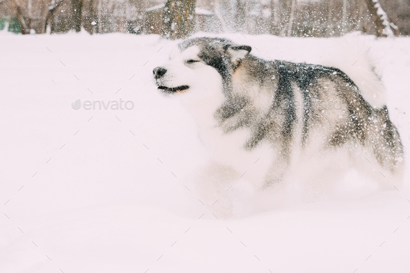 Alaskan Malamute Playing Outdoor In Snow, Winter Season. Playful - Stock Photo - Images