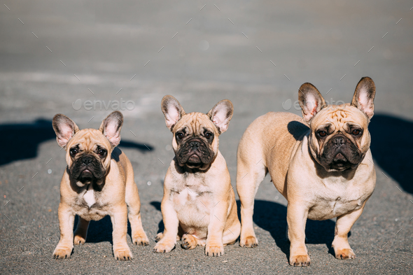Three Funny Lovely French Bulldogs Dogs Puppies Outdoor - Stock Photo - Images