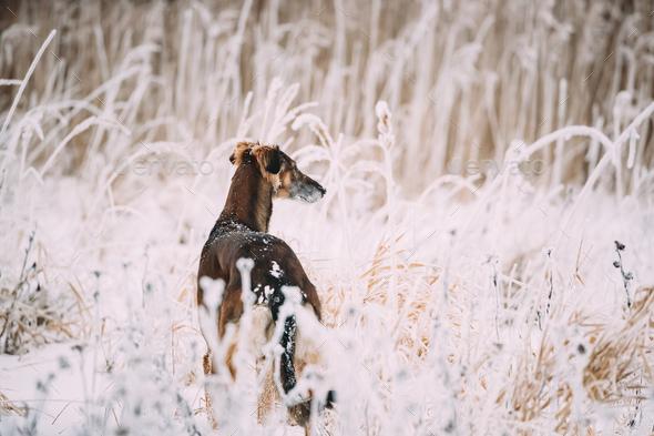 Hunting Sighthound Hortaya Borzaya Dog During Hare-hunting At Wi - Stock Photo - Images