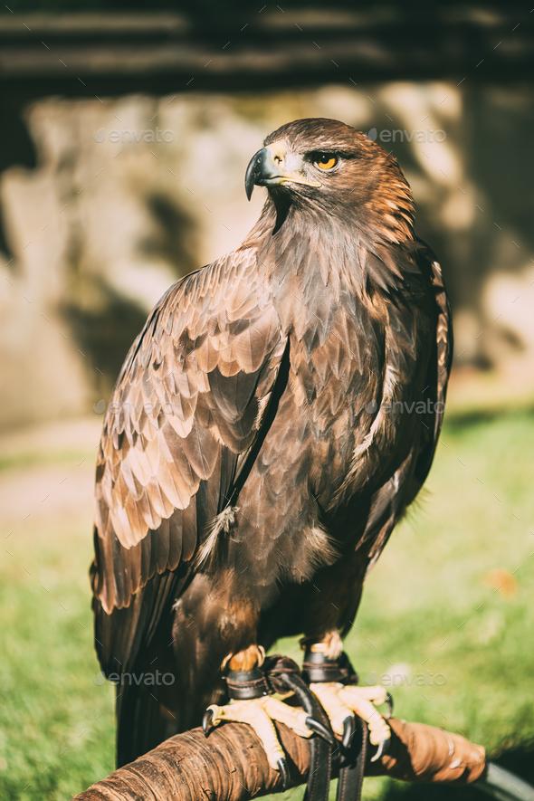 Sitting Golden Eagle Haliaeetus albicilla. Wild bird - Stock Photo - Images