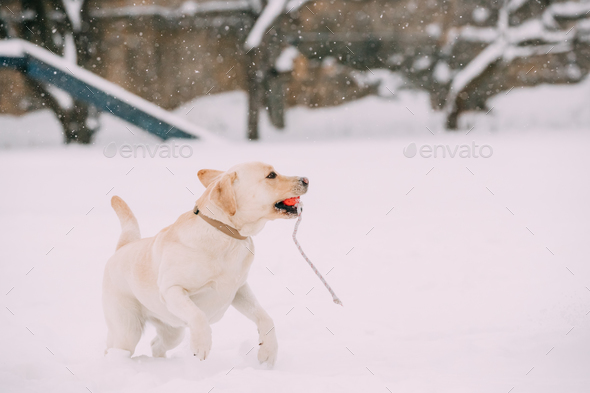 Labrador Dog Play Run Outdoor In Snow, Winter Season - Stock Photo - Images