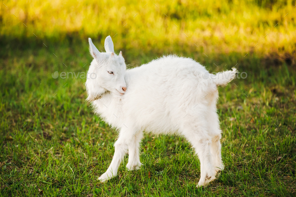 Kid Goat Grazes On Green Summer Grass On A Sunny Day. Goat Eatin - Stock Photo - Images