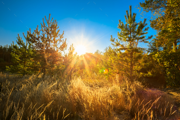 Sunset In Summer Coniferous Forest Trees. Nature Woods In Sunlig - Stock Photo - Images