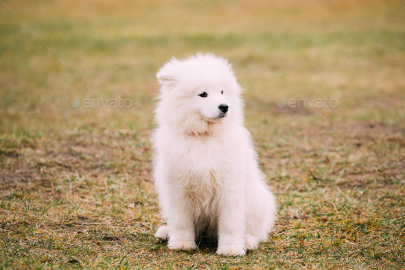 White Samoyed Puppy Dog Outdoor in Park - Stock Photo - Images