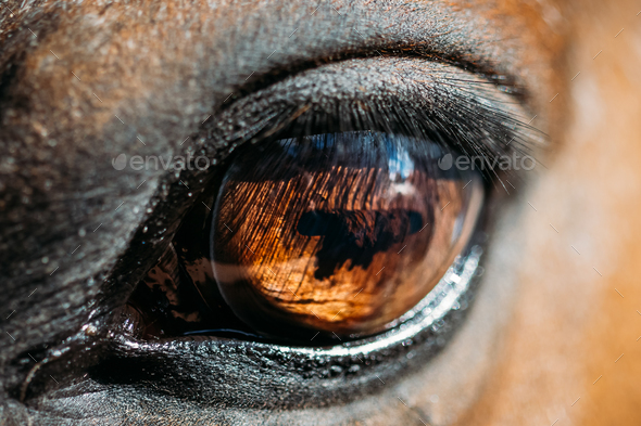 Close Up Of Arabian Bay Horse - Stock Photo - Images