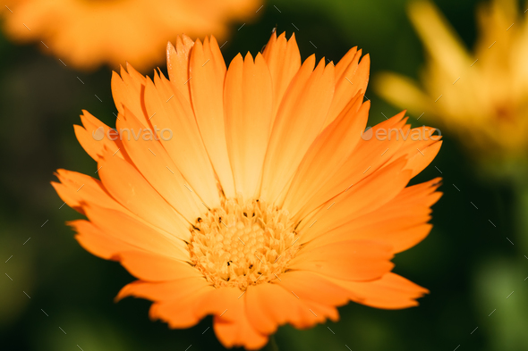 Orange Flower Of Calendula Officinalis. Medicinal Plant - Stock Photo - Images