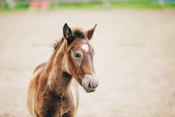 Close Up Portrait Of Brown Foal - Stock Photo - Images