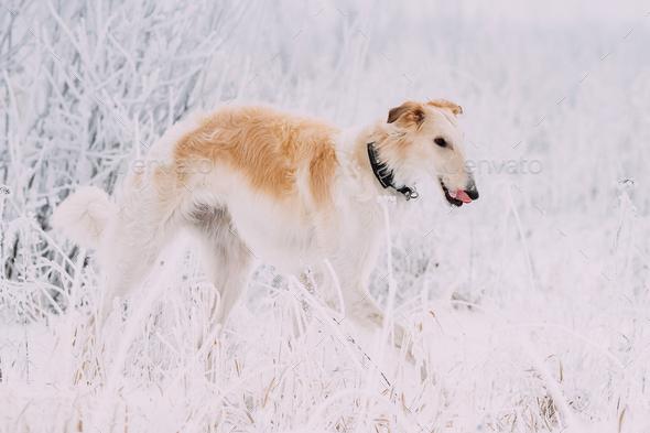 Russian Wolfhound Hunting Sighthound Russkaya Psovaya Borzaya Do - Stock Photo - Images