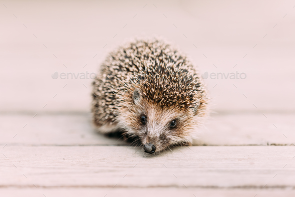 Small Funny Hedgehog Standing On Wooden Floor. European Hedgehog - Stock Photo - Images