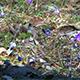 Flowering Liverwort, Hepatica nobilis during spring - VideoHive Item for Sale