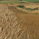 Farmland with Wheat, Tritium Aestivum maturing in the summer sun - VideoHive Item for Sale