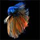 Siamese Half Moon Fighting Fish Betta Splendens 04 - VideoHive Item for Sale