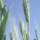 Spikes of Green Wheat - VideoHive Item for Sale