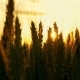 Wheat at Sunset in the Wind - VideoHive Item for Sale