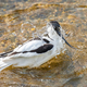 Avocet - PhotoDune Item for Sale