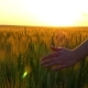 of Woman's Hand Running Through Wheat Field, Dolly Shot. - VideoHive Item for Sale