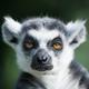 LemurProduction