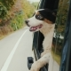 Travel with the Pet. The Dog Is Looking Out the Window of the Driving Car - VideoHive Item for Sale