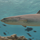 Female White Tip Shark Swims over a Shallow Coral Reef in Clear Water - VideoHive Item for Sale
