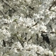 Cherry Blossom in April. Cherry Branches in the Wind - VideoHive Item for Sale