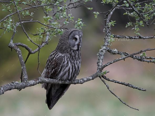 Great grey owl (Strix nebulosa) - Stock Photo - Images