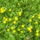 Spring April Yellow Flowers in Green Grass - VideoHive Item for Sale