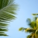 Coconut Palm Trees Crowns Against Blue Sunny Sky Perspective View From the Ground - VideoHive Item for Sale