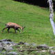 Chamois alpine goat from Mont Blanc - PhotoDune Item for Sale