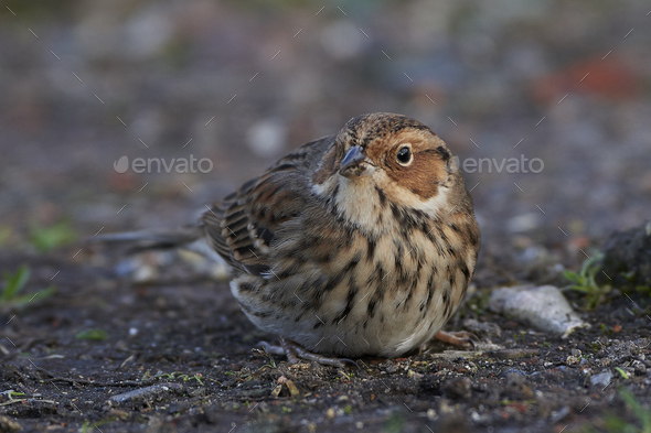 Little bunting (Emberiza pusilla) - Stock Photo - Images