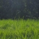 Green Grass at Dawn, Droplets of Dew in Backlight. Juicy Green Color. - VideoHive Item for Sale