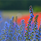 Blueweed, Echium Vulgar Wildflower During Sunrise - VideoHive Item for Sale