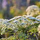 Cow Parsley, Anthriscus sylvestris during sunset - VideoHive Item for Sale