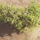 Small Watery Grassy Bush in Rub Al Khali Desert Stock Footage Video - VideoHive Item for Sale